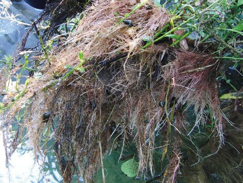 川藻状の水中根(写真-2)