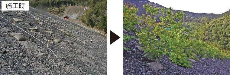 岩砕盛土法面など劣悪な環境でも順調に生育