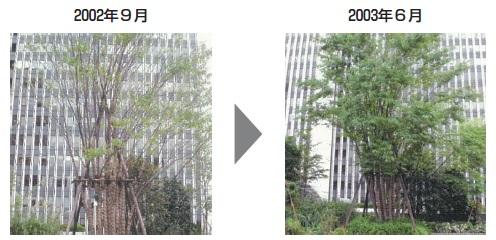 使用前・使用後の樹木の状況(六本木アークヒルズの例)