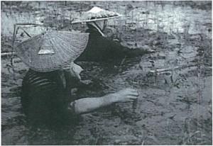 写真-2 田植え(亀田郷土地改良区)昭和30年代